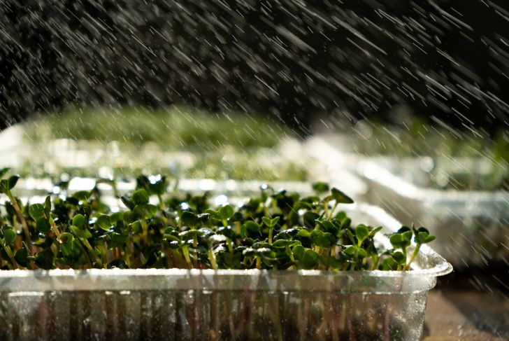 microgreens being sprayed with water