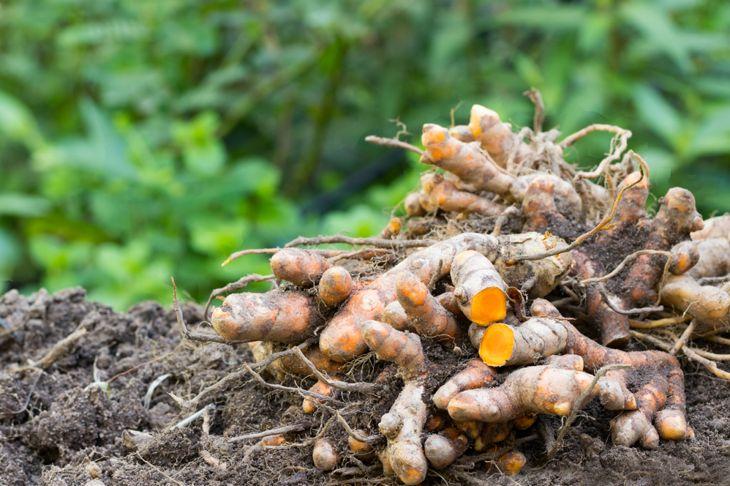 pile of turmeric roots on garden soil