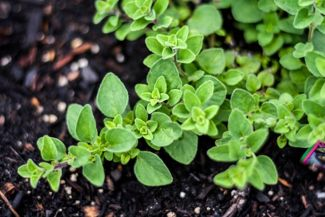 Growing Oregano, the Signature Culinary Herb