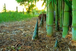 How to Care for Bamboo