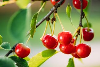 How to Grow and Care for a Cherry Tree