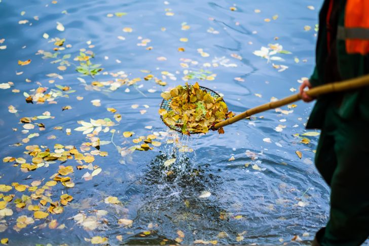 skimming leaves from the surface of a pond or pool