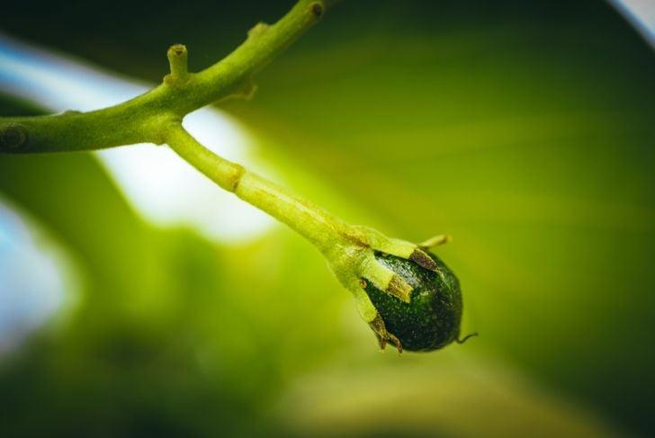 tiny avocado fruit growing on tree branch