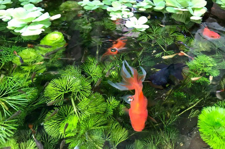 backyard pond with fish and aquatic plants