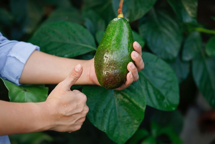 woman selecting an avocado to harvest from a tree