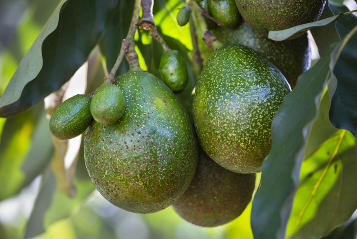lots of avocados growing together on a tree